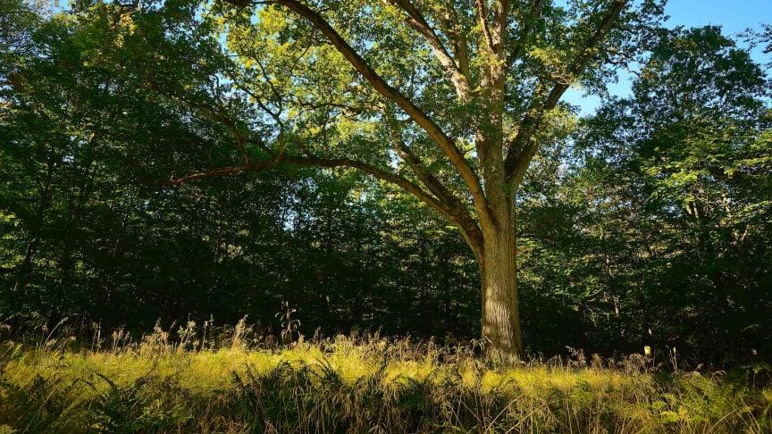 Naturstyrelsen vil fælde over 100 år gamle træer - mens regeringen planlægger at frede dem