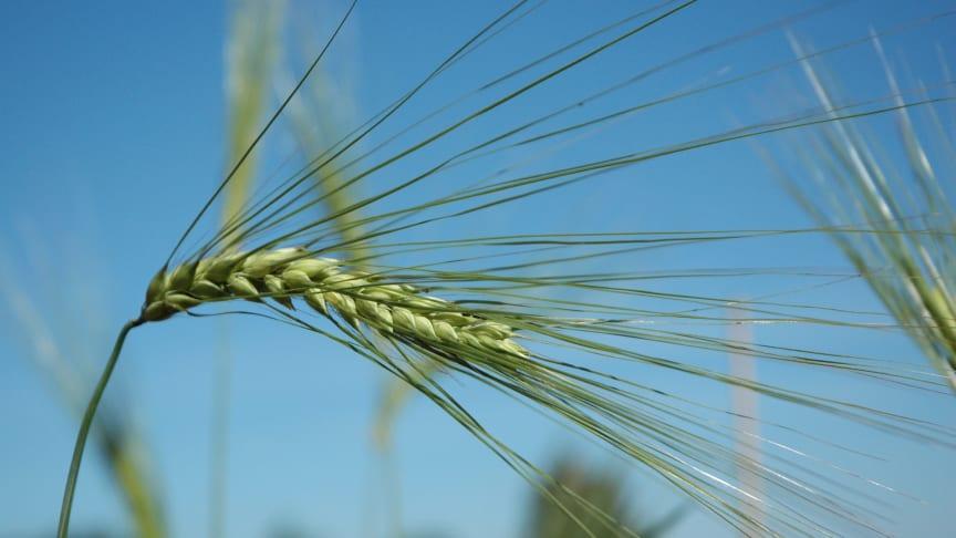 Den gamla sorten jämtländskt korn finns bevarad i den nordiska genbanken NordGen. Foto: Matti Leino