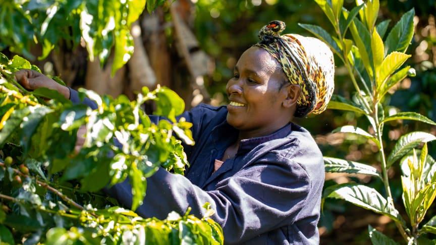 Zoégas utökar sitt program för hållbar kaffeproduktion till Uganda