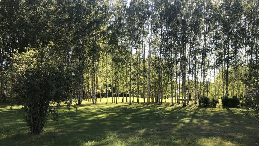 Område i Järva DIscGolfPark som ska kalhuggas i Kyrkogårdsförvaltningens upphandling.