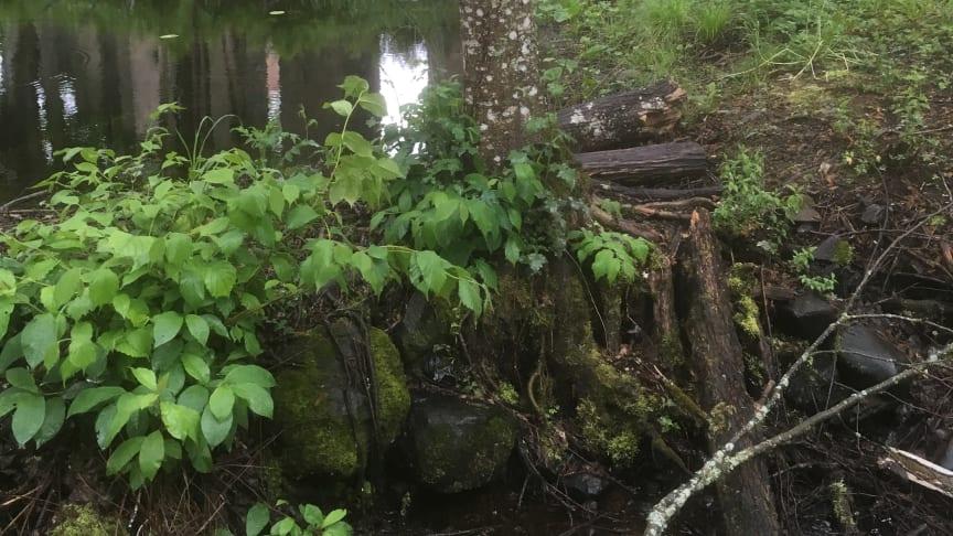 Grängshammars engelska park är Dalarnas äldsta. Foto: Helena Kåks.