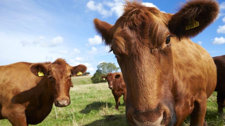 Bra djurhållning och närproducerat rankades högt som viktiga faktorer hos dem som köper svenskt kött. Svenskt Kött/fotograf Fredrik Persson