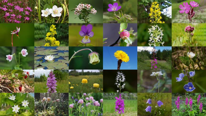 De 30 nominerade blommorna i första omröstningen av Sveriges nationalblomma