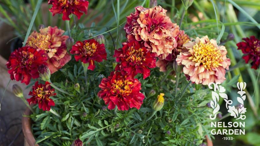 Säkra sommarens blomning med tagetes