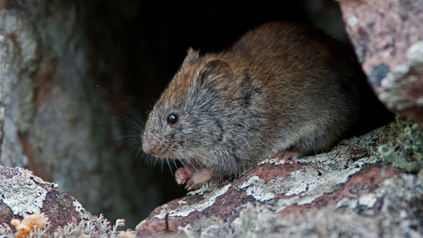 Ny studie i Science: Dämpade svängningar hos smågnagarpopulationerna