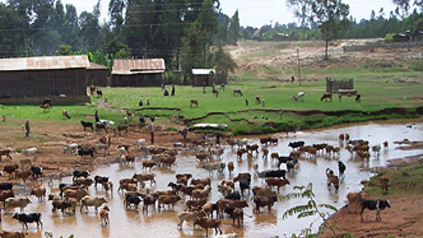Parasittolerant koras funnen i Etiopien