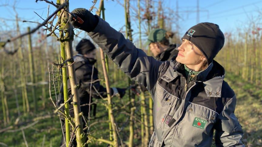 Beskärning av äppelträd i Kiviks Musteris odlingar på Solnäs Gård