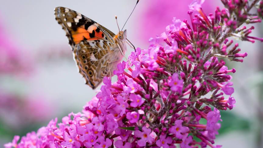 Foto: Pxhere, frigivet under Creative Commons CC0 - Tidselsommerfugl