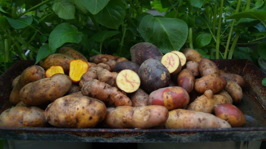Påminnelse presslunch 26/4: Välkommen att smaka på årets potatis – Solist!
