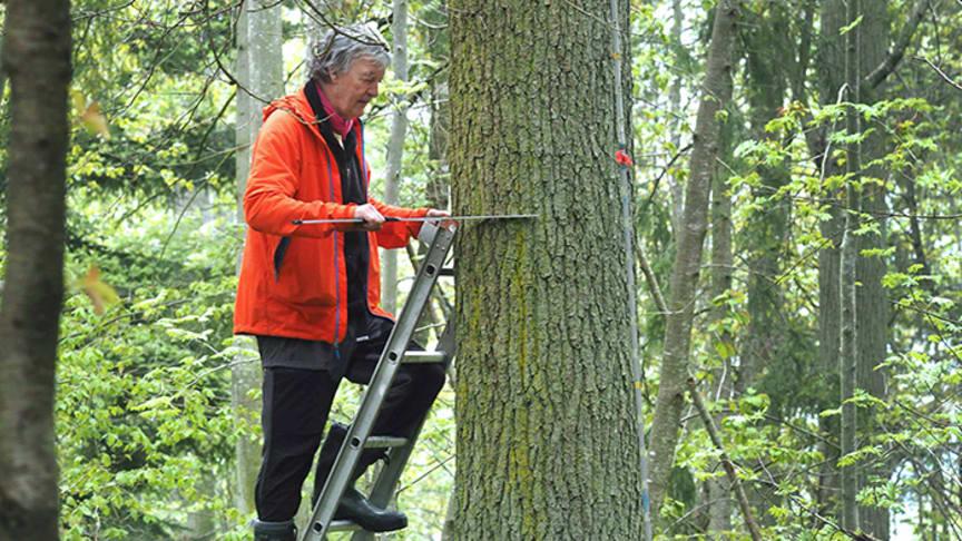Per-Magnus Ekö, forskare vid SLU:s institution för sydsvensk skogsvetenskap, mäter dimensionen på en ek. Foto: Pär Fornling