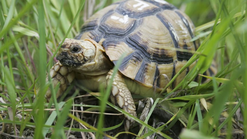 Sköldpaddor