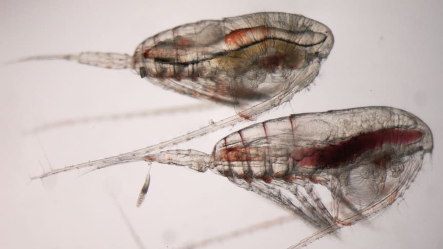 Høy risiko for å bli spist kan påvirke livssyklusen hos nøkkelarten raudåte. Bildet viser en voksen hann (øverst) og en hunn (nederst). Foto: Kristina Øie Kvile