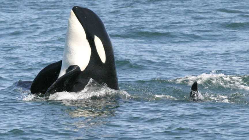 ENDANGERED: The resident Southern Pacific Killer Whales are supported by Hurtigruten Foundation. Foto: Oceans Initiative