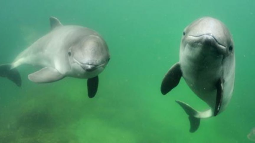 Ny plan för att bevara tumlare i Kattegatt