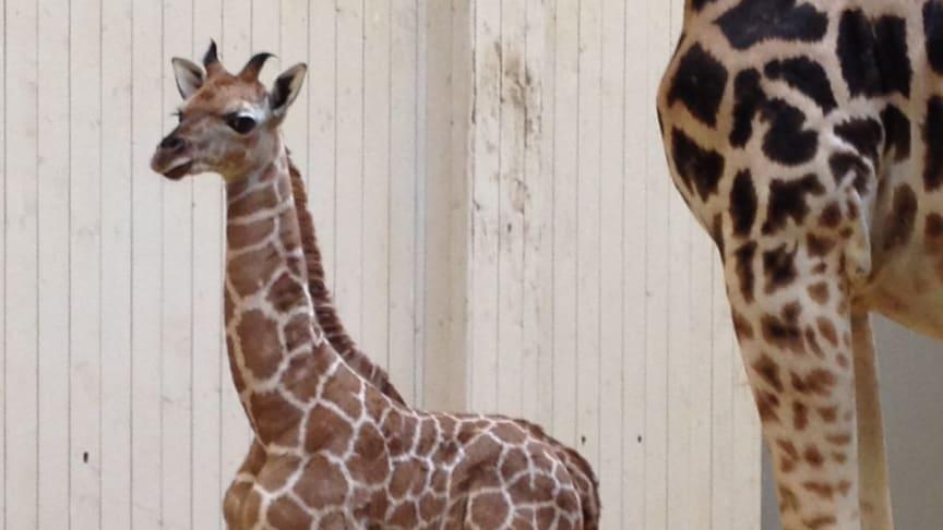 Nyfödd giraffkalv i Borås Djurpark