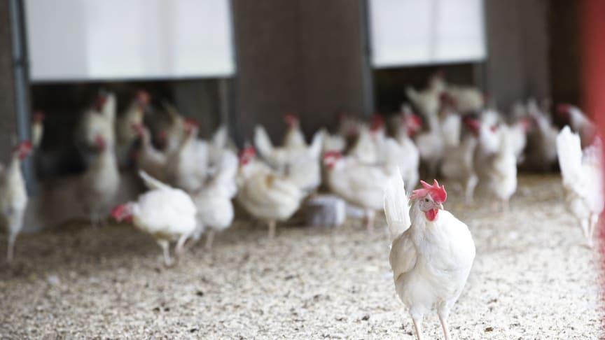 Efter flera månader med skyddsnivå 2, då alla fjäderfä hållits inomhus på grund av fågelinfluensan, har nu restriktionerna lättat och hönsen får vara utomhus igen. Foto: Svenska Ägg