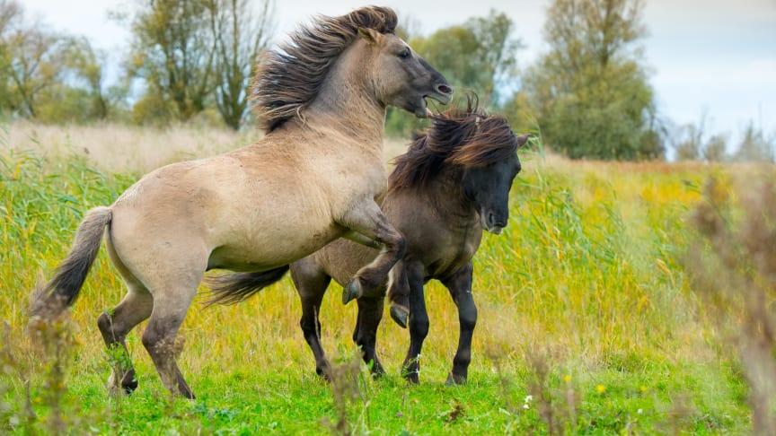 Konik hestene skal  være med til at pleje Bjergskov. Konik heste er rigtig gode til at spise for eksempel brombærkrat.