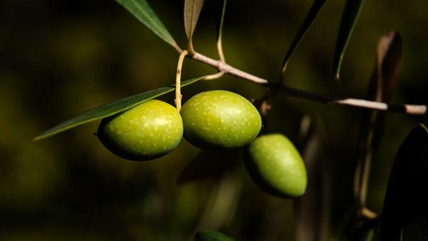 oliveCEPT® ökar produktionen med 10 % hos Grekiska Agioi Apostolois