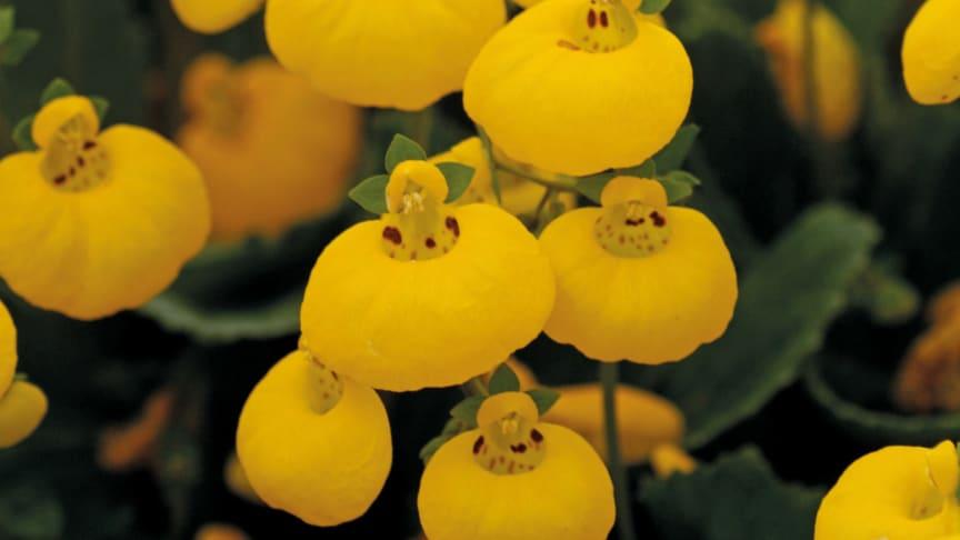 Nytt och kul 2013 - Toffelblomma, Calceolaria 'Calynopsis'