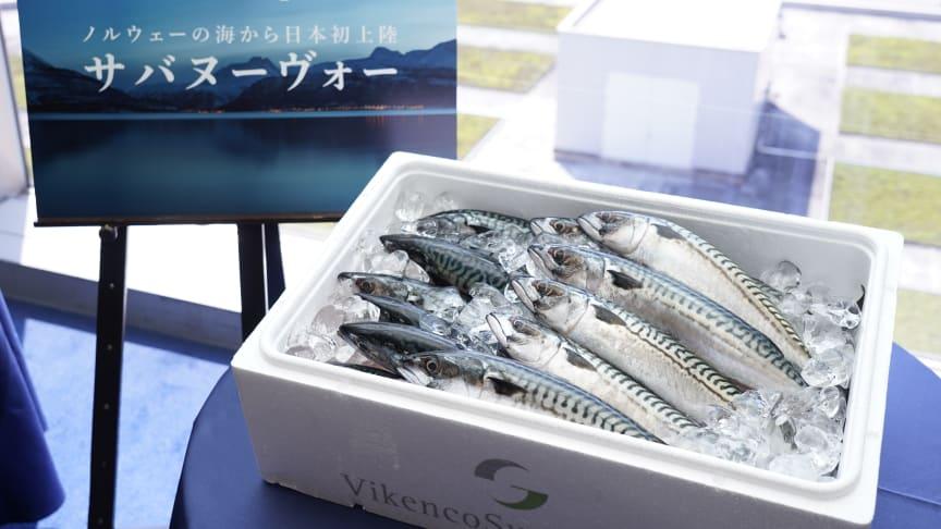 Den aller første forsendelsen av fersk norsk makrell til Japan FOTO: Norges sjømatråd