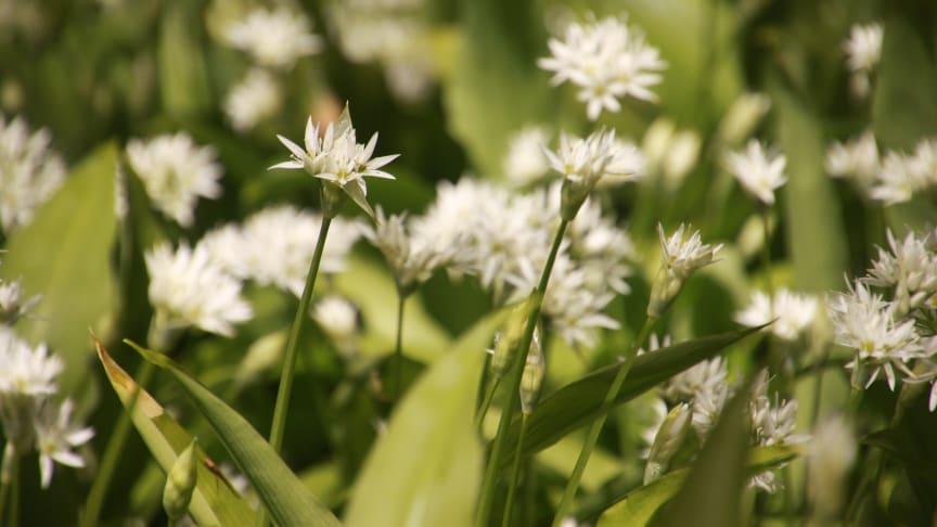 Blommande ramslök på Kinnekulle