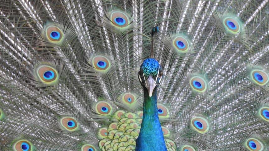 Hälsa på våra vackra påfåglar.