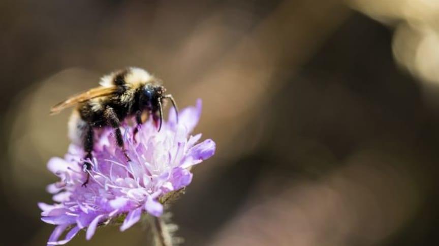 I rådgivningen Biologisk mångfald i åkerlandskapet får lantbrukaren kunskap om varför det är viktigt att tänka på gårdens biologiska mångfald utifrån bland annat pollinerande insekter. Foto: Thomas Adolfsén, Scandinav bildbyrå