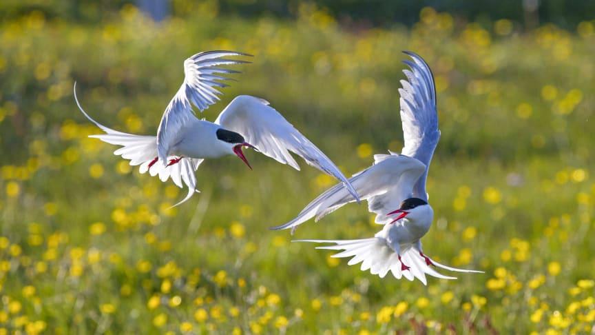 Silvertärnan tillhör en av våra mest eleganta fåglar och forskare kartlägger nu deras flyttmönster. Se mer i SVT-dokumentären Tärnsommar på onsdag.