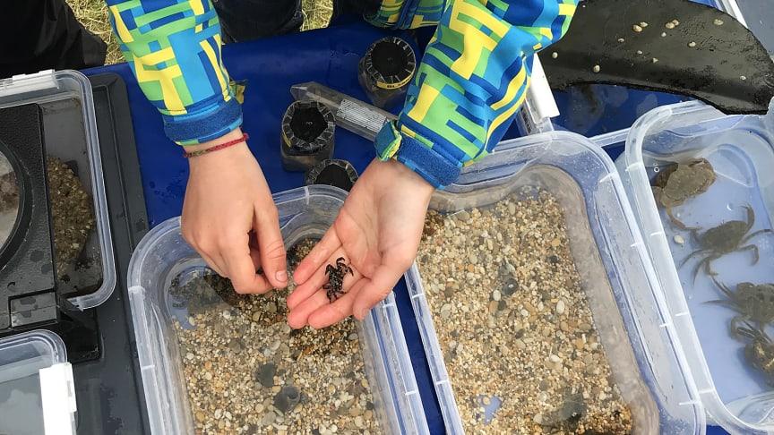 Lärare och elever åker ut till kusten för att leta efter främmande arter. Sedan rapporterar de in sina fynd till forskare och myndigheter. Foto: Anna Dimming, Länsstyrelsen Västra Götaland.