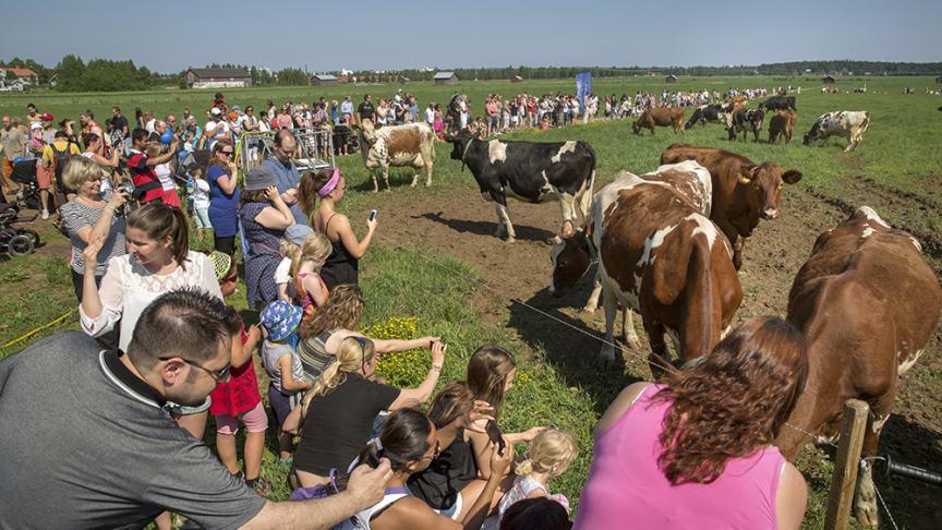 Norrmejeriers betessläpp har utvecklats till en tradition och en stor folkfest. Foto Johan Gunseus. Se länk till pressbilder.