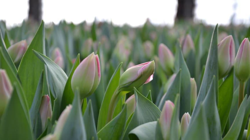Målsta Blommor är den största tulpanodlingen i Norrland.