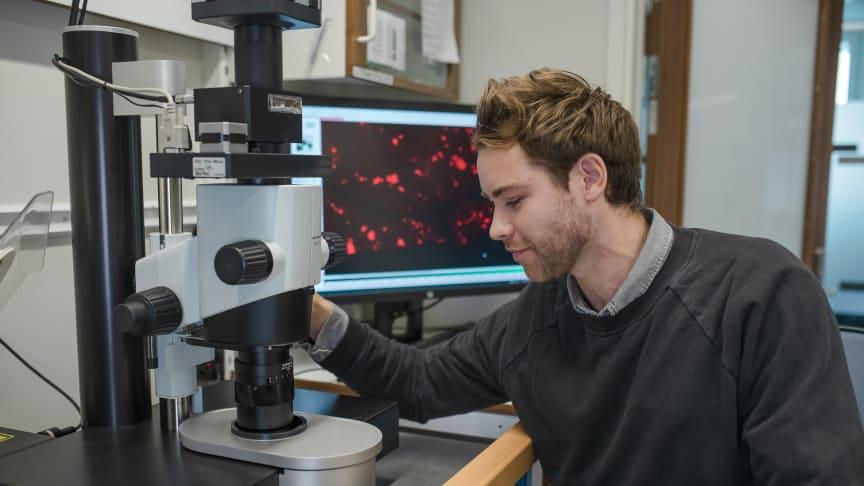 Max Hahn, doktorand vid Umeå centrum för molekylär medicin, studerar vävnadsmaterial med fluorescerande ljusfältsmikroskop. Foto: Mattias Petterson