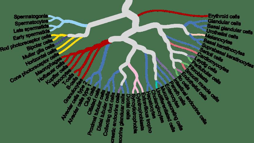Förhållandet mellan några av de viktigaste mänskliga celltyperna som analyserats i publikationen av Karlsson et al (2021). Foto: Human Protein Atlas