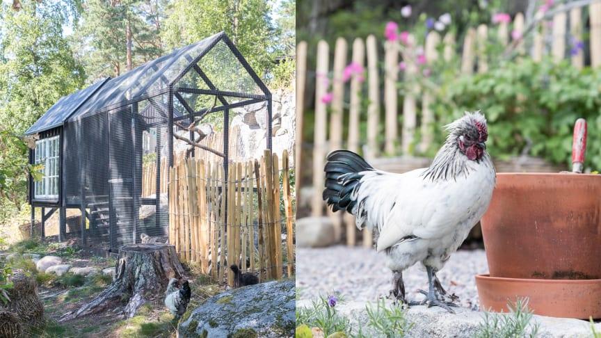 Susanna byggde en vacker hönsgård med svetsat nät och kastanjestaket