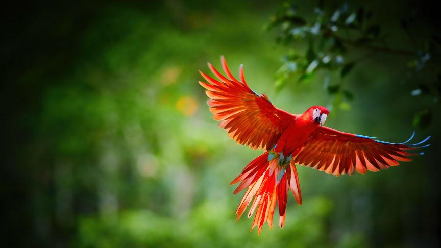Den lyserøde ara er en af de mange arter, der nyder godt af, at flere af Perus områder i Amazonas er blevet fredet med hjælp fra oprindelige folk. Foto fra Shutterstock.