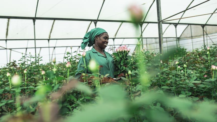 Sex av tio rosor som såldes i Sverige 2020 var Fairtrade-märkta. Grace Mwangi arbetar på en Fairtrade-certifierad plantage i Kenya. Foto: Christoph Köstlin