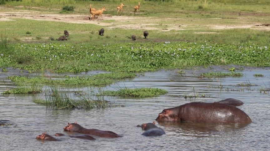 Uganda var engang meget rigere på dyreliv, men en voldsom befolkningstilvækst og årtier med rovdrift har lagt et enormt pres på de resterende skov- og naturområder til skade for biodiversiteten. Foto: Jonas Schmidt Hansen