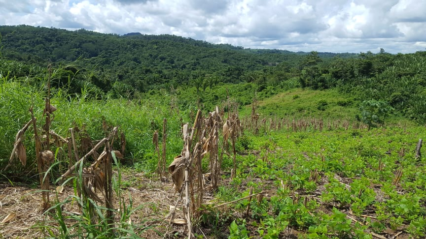 Rows of corn and a landscape of the rainforest, Belize (photo credit: Raquel Chun)