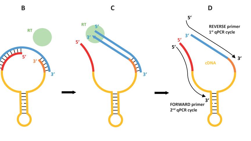 "Illustration av tekniken ""Two-Tailed PCR"""