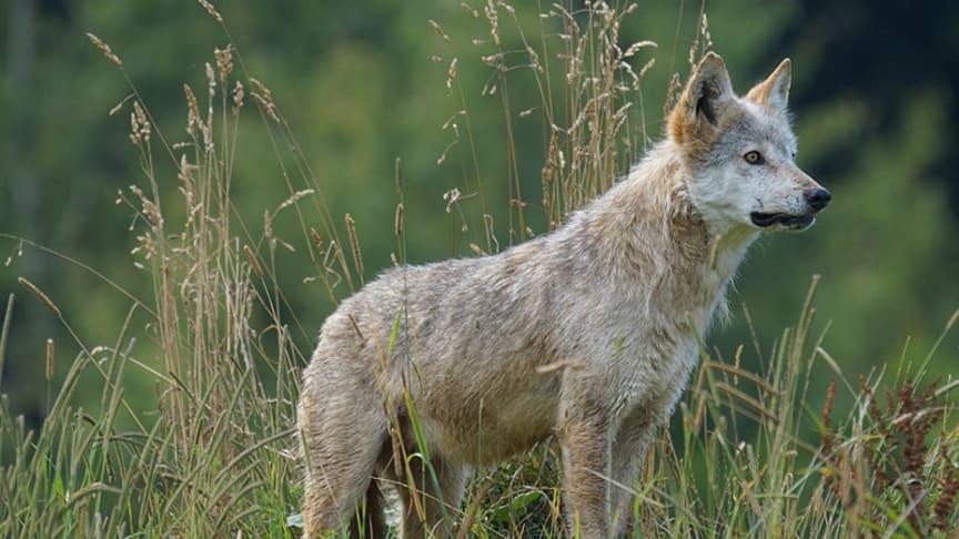 Med elstängsel kan du få ett effektivt skydd mot varg och andra rovdjur. Bild från Pixabay.com.