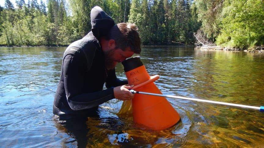 Prosjektleder Jens Thaulow plukker muslinger som måtte flytte før Kistefos-museet kunne starte byggingen av nytt kunstgalleri. Foto: Marc Anglès d'Auriac /NIVA.