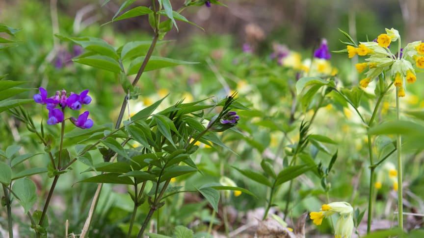 Vårärt och gullviva är två av de arter som undersökts i studien. Foto: Katarina Fast Ehrlén/Stockholms universitet.