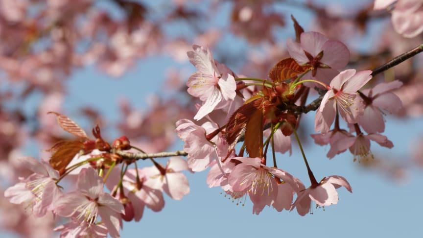 Nu börjar körsbärsträdens blommor att slå ut i museiparken!