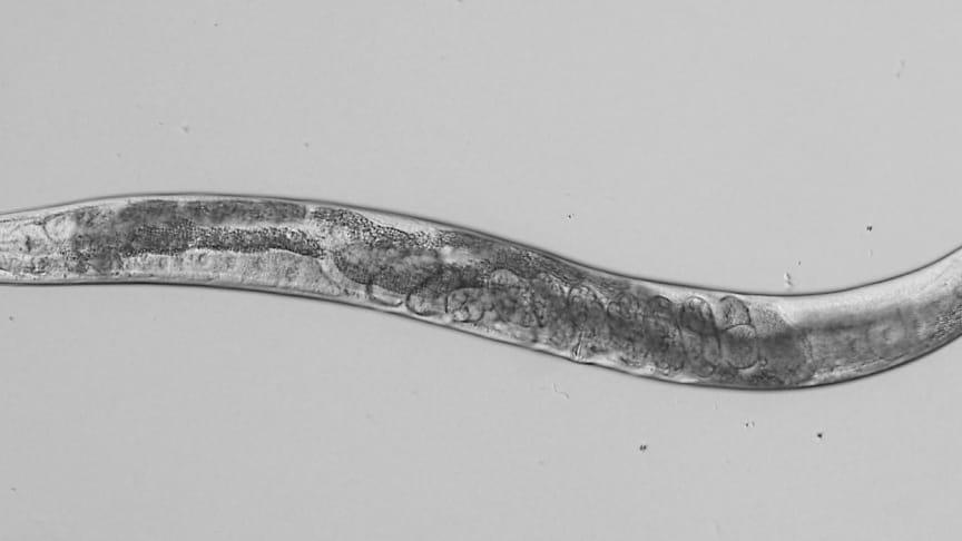 Masken Caenorhabditis elegans fotograferad i mikroskop. Foto: Ola Billing