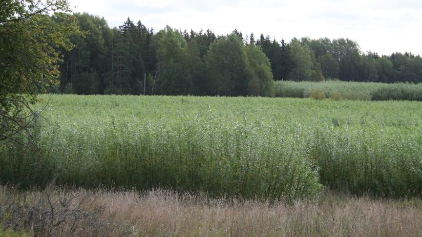 Salixodling. Foto: Stig Larsson