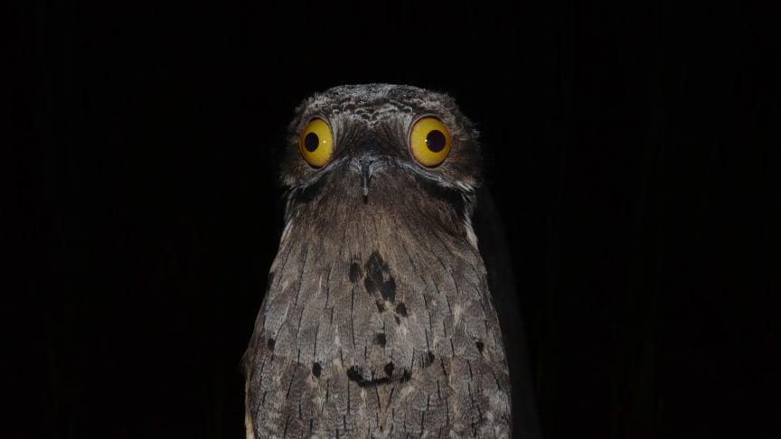 Potoo fuglen er mere speciel end den er køn.