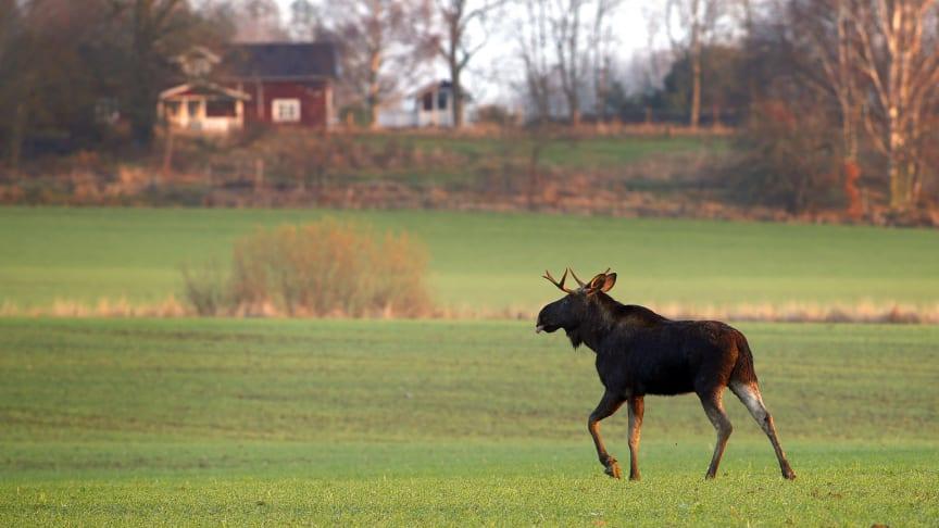 2 september börjar älgjakten i norra Dalarna. Övriga delar av länet får vänta till den 14 oktober.