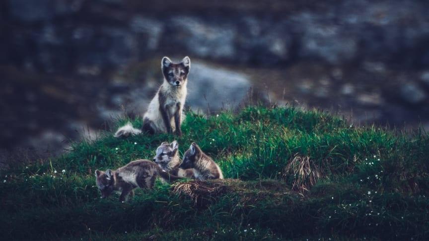 Årets Pantamera-insamling från SkiStar går till WWF Sveriges arbete för att rädda fjällräven