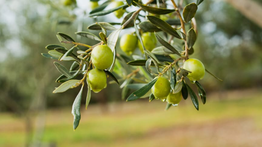Die Olive überzeugt als ÖL, auf dem Speiseplan und in der Kosmetik. Bild: JoannaTkaczuk | adobe stock