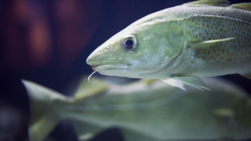 HaV föreslår miljöregler för fisk